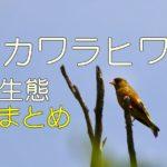 カワラヒワ生態まとめ 日本トップクラスの綺麗な羽をもつ鳥